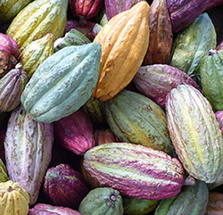 cacao-pods-250