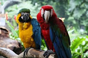 Macaws_at_Jurong_Bird_Park_-Singapore-8